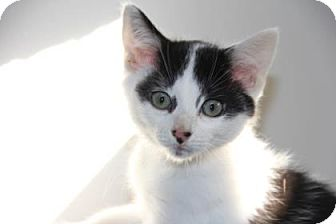 Domestic Shorthair Kitten for adoption in Greensboro, North Carolina - Tony