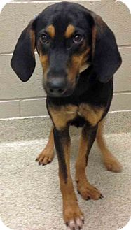 Hound (Unknown Type) Mix Puppy for adoption in Shorewood, Illinois - Moved to Channahon Jocelyn