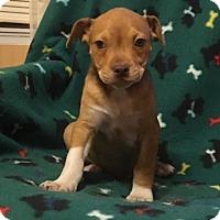 Adopt A Pet :: Macciato - Spring Valley, NY
