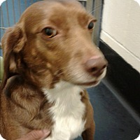 Adopt A Pet :: Susie - Barnwell, SC