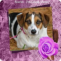 Adopt A Pet :: Scarlet/ADOPTED! - New Castle, DE