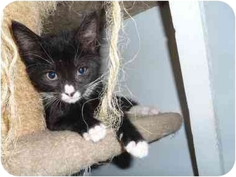 Domestic Shorthair Kitten for adoption in North Syracuse, New York - Widget