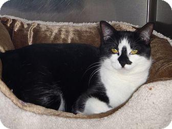 Domestic Shorthair Cat for adoption in St. Petersburg, Florida - Katniss