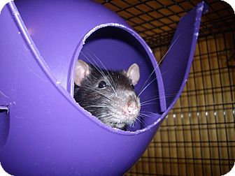 Rat for adoption in Greenwood, Michigan - Tres