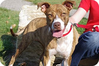 Cattle Dog/Boxer Mix Dog for adoption in Elyria, Ohio - Darcy-Prison Graduate