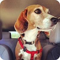 Adopt A Pet :: Bryce - Phoenix, AZ