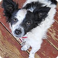 Adopt A Pet :: Bella - dewey, AZ