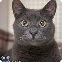 Adopt A Pet :: Rocco - Merrifield, VA