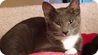 Domestic Shorthair Cat for adoption in Port Republic, Maryland - Swizzle