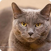 Adopt A Pet :: Pudge**declawed**(in foster) - Scottsdale, AZ