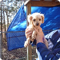 Adopt A Pet :: Ollie - Crump, TN