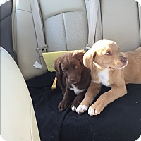 Adopt A Pet :: LUTHER AND LUKE - CHICAGO, IL