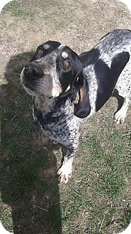 Bluetick Coonhound Mix Dog for adoption in Canton, Ohio - Babe