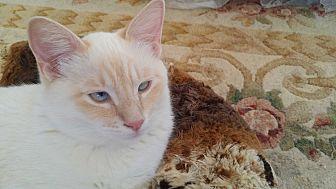 Siamese Cat for adoption in San Fernando Valley, California - Han Solo