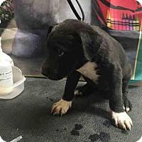 Adopt A Pet :: A1030587 - Bakersfield, CA