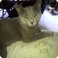 Domestic Shorthair Cat for adoption in Irwin, Pennsylvania - Smokey