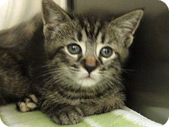 Domestic Shorthair Kitten for adoption in Windsor, Virginia - Nala