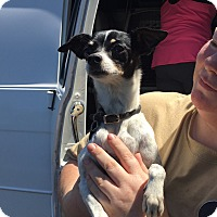 Chihuahua/Rat Terrier Mix Dog for adoption in Boca Raton, Florida - Mayflower
