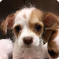 Adopt A Pet :: Leela - Fort Collins, CO