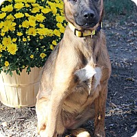 Adopt A Pet :: LUCY - Westminster, CO