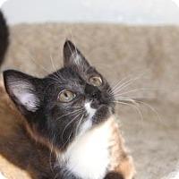 Domestic Shorthair Kitten for adoption in Greensboro, North Carolina - Socks