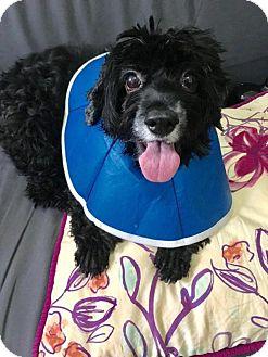 Cocker Spaniel Dog for adoption in Flushing, New York - Tango