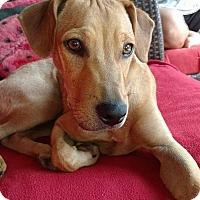 Adopt A Pet :: Scamp - Piedmont, SC