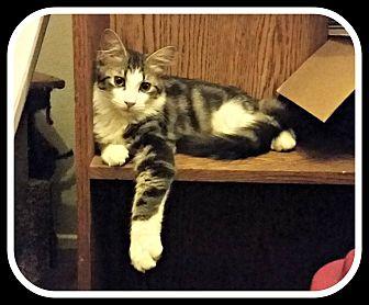 Domestic Mediumhair Cat for adoption in Lancaster, California - Omar