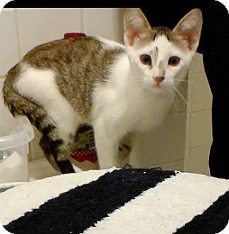 Calico Kitten for adoption in New York, New York - Tatum