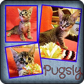Domestic Shorthair Kitten for adoption in Brandon, Florida - Pugsly