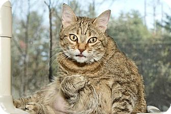 Domestic Shorthair Cat for adoption in Cashiers, North Carolina - Nala