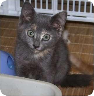 Domestic Shorthair Kitten for adoption in Barnegat, New Jersey - Kotton