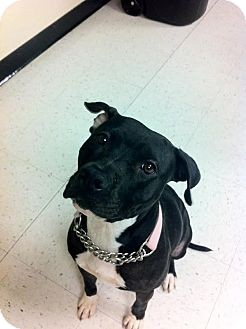 American Staffordshire Terrier Mix Dog for adoption in Scottsdale, Arizona - Petunia