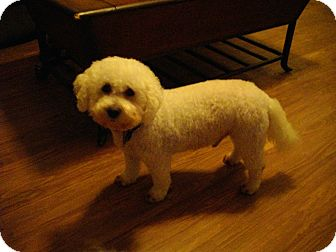 Bichon Frise Mix Dog for adoption in Sheridan, Oregon - Adam