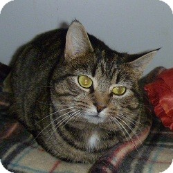 Domestic Shorthair Cat for adoption in Hamburg, New York - Cheri