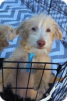 Maltese/Poodle (Miniature) Mix Puppy for adoption in Los Angeles, California - Luca
