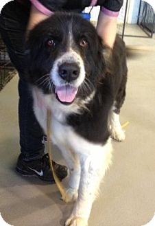 Newfoundland Mix Dog for adoption in Richmond, Virginia - Maggie