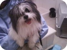 Shih Tzu Dog for adoption in Sherman, Connecticut - Sidney