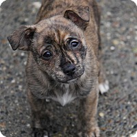 Adopt A Pet :: Jax - Yuba City, CA