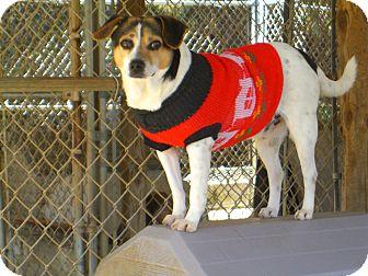 Rat Terrier/Jack Russell Terrier Mix Dog for adoption in Nashville, Georgia - Mick