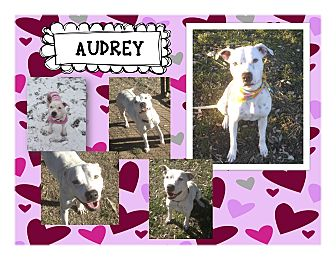 American Pit Bull Terrier/Dalmatian Mix Dog for adoption in Graford, Texas - Audrey