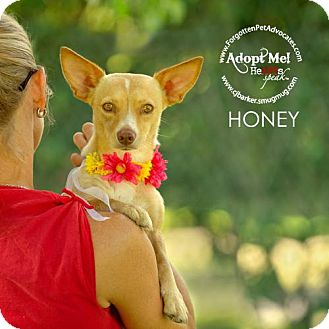 Chihuahua/Corgi Mix Dog for adoption in Pearland, Texas - Honey