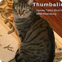 Domestic Shorthair Cat for adoption in Temecula, California - Thumbalina