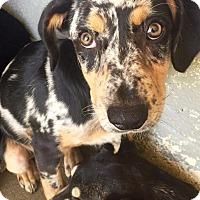Adopt A Pet :: Roxie - Oswego, IL