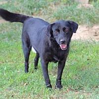 Labrador Retriever Dog for adoption in Franklin, Tennessee - BUDDY BOY