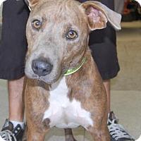 Adopt A Pet :: Baloo - Brooklyn, NY