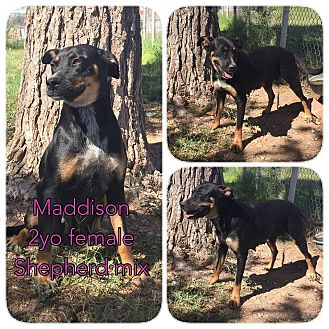 Shepherd (Unknown Type) Mix Dog for adoption in DeForest, Wisconsin - Maddison