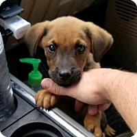German Shepherd Dog Puppy for adoption in Plano, Texas - Augy
