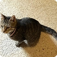 Domestic Shorthair Cat for adoption in Corydon, Indiana - KitKat