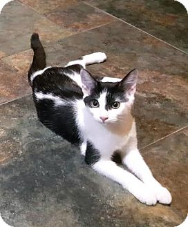 Domestic Shorthair Kitten for adoption in Pasadena, California - Elise